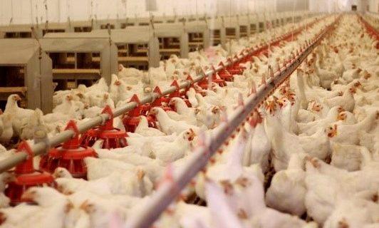 مرغ را مانند ارز چند نرخی نکنید/با چند نرخی شدن بازار مرغ بازار ارز نیز برهم میریزد